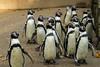 Boy Group (JuliSonne) Tags: bird penguin tailcoat plumage feathers running groupportrait beak wings
