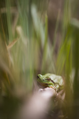 La belle verte. (Benji Pictures) Tags: macro macrophotography rainette grenouille green vert naturallight lumierenaturelle macromarvels