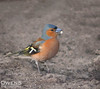 Chaffinch (OwenSPhotography) Tags: bird birds small nature wild life wildlfe finch chaffinch free