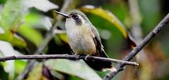 Speckled Hummingbird / Colibrí Jaspeado (Adelomyia melanogenys) en Fundo Alto Nieva, Amazonas (Fernando Angulo Pratolongo) Tags: adelomyiamelanogenys speckledhummingbird