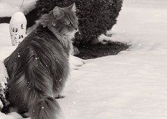 Makes you wonder .... (FocusPocus Photography) Tags: fynn fynnegan katze kater cat chat gato tier animal haustier pet schnee snow winter bw sw mono