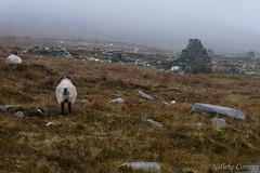 The deserted village near Keel (Nelleke C) Tags: 2017 achillisland countymayo keel slievemore desertedvillage holiday ierland ireland schapen sheep vakantie