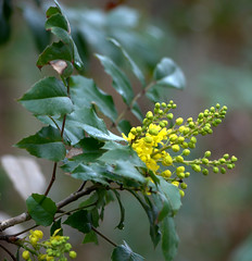 OREGON GRAPE...DELICATE FLOWERS AND A LEAF THAT LOOKS LIKE A HOLLY LEAF. (vermillion$baby) Tags: fishtrapcreek hollyleaves oregongrape abbotsford flower green inthewild walk wetland wildflower yellow flowerflickr flowwer closeup color hawaiin maui blossom bc fraservalley beautifulbc summer spring blossoms leaf light
