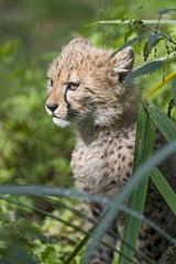Cheetah cub in the vegetation (Tambako the Jaguar) Tags: cheetah big wild cat young cub baby cute portrait posing sitting plants vegetation basel zoo zolli switzerland nikon d5