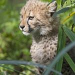 Cheetah cub in the vegetation thumbnail