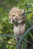Cheetah cub in the vegetation (Tambako the Jaguar) Tags: cheetah big wild cat young cub baby cute portrait posing sitting plants vegetation basel zoo zolli switzerland nikon d5