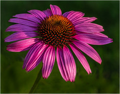 13 - Coneflower in Morning Light