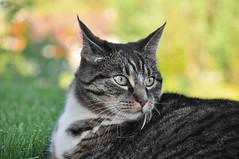 Cat portrait (steffos1986) Tags: cat pet animal kitty bokeh wild sigma nikond5000 garden eyes cute autumn nature natural