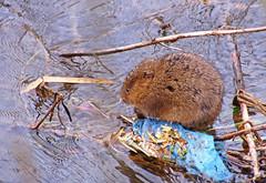Water Vole - Arvicola amphibius (wontolla1 (Septuagenarian)) Tags: water vole rat dog derbyshire bakewell river wye peak district mammal arvicolaamphibius