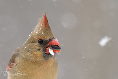Female Northern Cardinal, up close (dbifulco) Tags: noca nature snowing birds closeup eating female newjersey northerncardinal snow wildlife winter
