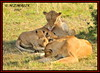 FEMALE LIONESS (Panthera leo) WITH SUCKLING CUBS......MASAI MARA......SEPT 2017. (M Z Malik) Tags: nikon d3x 200400mm14afs kenya africa safari wildlife masaimara keekoroklodge exoticafricanwildlife exoticafricancats flickrbigcats lioncubs lioness leo ngc npc
