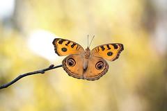 Junonia almana (fabriciodo2) Tags: junoniaalmana papillon butterfly macro nature