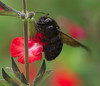 Carpenter bee in the Shade Garden, Tucson Botanical Gardens (Distraction Limited) Tags: botanicalgardens gardens tucson arizona tucsonbotanicalgardens tucsonbotanical tbg20180315 carpenterbees xylocopaspp xylocopa bees insects shadegarden