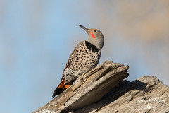 Posing Northern Flicker