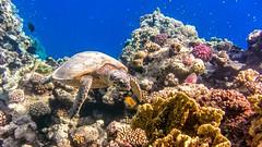 Черепаха Тортила в поисках ключика... (Nitohap) Tags: черепаха turtle марсаалам египет egypt красноеморе redsea