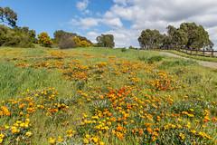 Spring Flowers (Jill Clardy) Tags: bedwellbayfrontpark california menlopark northamerica usa bluesky clouds cloudy flowers orange spring wildflower 201803234b4a8760 yellow gazania 365the2018edition 3652018 day82365 23mar18 explore explored