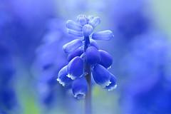 Blue Grape Hyacinth (lfeng1014) Tags: bluearmeniacum bluegrapehyacinth macromondays theblues macro macrophotography canon5dmarkiii 100mmf28lmacroisusm closeup bokeh dof depthoffield blueflower flower grapehyacinth muscariarmeniacum muscari lifeng light hmm