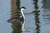 Largest Grebe (MelRoseJ) Tags: sanleandro california unitedstates us sonyalpha sony sonyilca77m2 a77ii alpha autofocus sal70200g birds bayarea nature northerncalifornia sanleandromarina westerngrebe