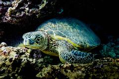 Hawaiian Green Turtle || Oahu (David Marriott - Sydney) Tags: honolulu hawaii unitedstates us hi turtle green scuba diving underwater ikelite island hawaiikoa crater
