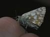 Muschampia tessellum - Tessellated skipper - Толстоголовка мозаичная (Cossus) Tags: hesperiidae muschampia pyrginae 2012 пущино толстоголовка skipper