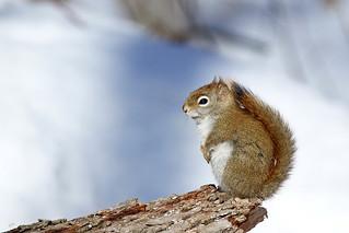 Écureuil roux / Red Squirrel