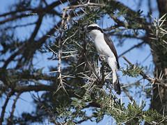 Grey-Backed Fiscal (featherweight2009) Tags: greybackedfiscal laniusexcubitoroides fiscals shrikes butcherbird birds africa