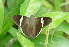 Autochton  longipennis/zerex (natdisc) Tags: pyrginae hesperiidae autochtonlongipenniszerex butterfly lep maquipucuna