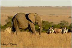 Ellie at Sunset! (MAC's Wild Pixels) Tags: ellieatsunset elephant loxodontaafricana bullelephant animal mammal wildlife africanwildlife wildafrica wildanimal wildlifephotography nature outdoors outofafrica safari gamedrive savannahplains sunset goldenhour endangered critical tusks ivory masaimara maasaimaragamereserve kenya macswildpixels herbivore grazer coth ngc coth5 npc