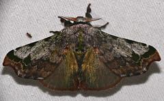 Bombycid Moth (Quentalia ephonia) (berniedup) Tags: belizon roura guyane moth bombycidae quentaliaephonia taxonomy:binomial=quentaliaephonia