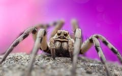 Cutest Wolf Spider (Can Tunçer) Tags: can cantunçer cantuncer canon canon6d macro makro macros macrophotography micro mikro makros mpe65mm mm stack studio stacking setup stand spider wolf yongnuo tunçer turkey turkiye türkiye tuncer izmir