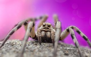 Cutest Wolf Spider