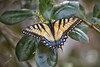 tiger swallowtail butterfly _3-26-18_013 (pmsswim) Tags: green tigerswallowtail swallowtailbutterfly butterfly mariposa earlyspring march 2018
