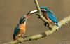 Hochzeitsgeschenk (Alcedo atthis)©Arne Flemke (Arne Flemke-Gezeiten Photography) Tags: bremen eisvogel kingfisher wümme wümmewiesen blockland