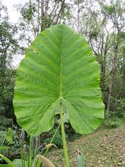 Alocasia sp. (dhobern) Tags: 2018 alocasia china march xtbg xishuangbanna yunnan arales araceae