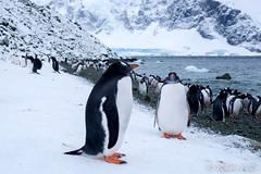 Pingüinos Papua (robertopastor) Tags: antarctica antarctique antarktika antartic antártida fuji robertopastor xt1 xf1655mm pingüinos papua