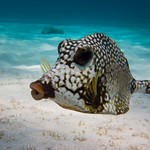 Smooth Trunkfish (Lactophrys triqueter) thumbnail