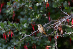 Allen's Hummingbird (Trent Bell) Tags: lytlecreek lytlecreekrangerstation birdwatching bird california socal 2018 frontcountryrangerstation allenshummingbird