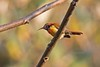 FIRTAISUN Im ignicaudis 0479 (bryanjsmith62) Tags: firetailedsunbird aethopygaignicauda sunbirdsandspiderhunters nectariniidae birdsofchina