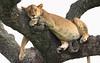 TGIF ! (AnyMotion) Tags: lion löwe pantheraleo lioness löwin tree baum liontree 2018 anymotion morukopjes serengeti tanzania tansania africa afrika travel reisen animal animals tiere nature natur wildlife 7d2 canoneos7dmarkii ngc npc