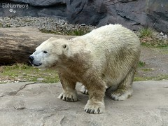 Antonia - Eisbär - Zoom Gelsenkirchen (ElaNuernberg) Tags: eisbärantonia zoomgelsenkirchen zoo zootier zooanimal eisbär polarbear ourspolaire orsopolare ijsbeer isbjorn jääkaru niedźwiedźpolarny ursusmaritimus