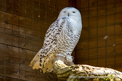 Snowy owl (Ashley Middleton Photography) Tags: cotswolds england owl unitedkingdom bird cotswoldwildlifepark europe snowyowl animal burford oxfordshire gb