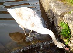 Young Swan (R~P~M) Tags: aylesbury bucks buckinghamshire england uk unitedkingdom greatbritain canal waterway grandunion swan bird cygnus