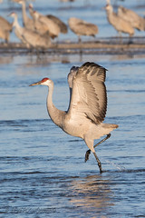 Sandhill_Cranes-59 (Beverly Houwing) Tags: nebraska sandhillcranes plattriver migration spring birds conservation cranetrust sanctuary protected takeoff fly flight splash run grey gray unitedstates midwest