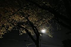 夜桜 2 (*suika *) Tags: moon spring night neighborhood electricwire