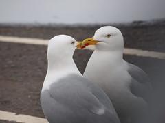 Till A' The Seas Gang Dry (Céanndhubahn) Tags: seagulls birds courtship rabbieburns tilla'theseasgangdry scotland girvanharbour harbour girvan monogamy kiss love herringgulls
