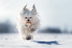 Mika im Schnee (buchsammy) Tags: aimal flare haustier havanese schnee sonnenschein sony sonyalpha9 sonyselfe70200mmf28gmos tier winter action dog drausen havaneser hund mika outdoor pet snow weis sonyselfe70200mmf28gmoss