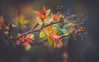 Colourful leaves (Dhina A) Tags: sony a7rii ilce7rm2 a7r2 kaleinar mc 100mm f28 kaleinar100mmf28 5n m42 nikonf russian ussr soviet 6blades color colourful leaves spring plant