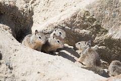 California ground squirrel (Otospermophilus beecheyi) (Corriplaya) Tags: californiagroundsquirrel monterey pointpinos california otospermophilusbeecheyi corriplaya mamiferos mamals