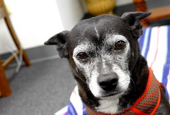 Mazie, at work. 33 (Leica XV) (Mega-Magpie) Tags: leica x vario indoors pet dog puppy she female mazie cute sweetheart