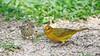Saffron Finch (Sicalis flaveola) (jaytee27) Tags: pantanalbrazil saffronfinchsicalisflaveola naturethroughthelens